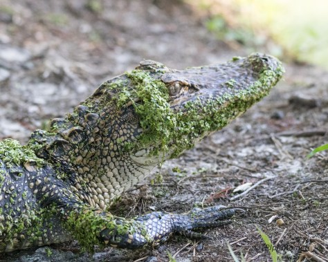 Alligator, Likes The Trail - Click To Enlarge