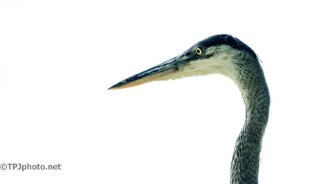 Head Shot, Great Blue Heron - Click To Enlarge