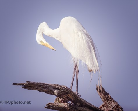 Portrait Great White Egret - Click To Enlarge
