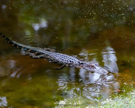 Alligator, Waiting For Me To Leave - Click To Enlarge