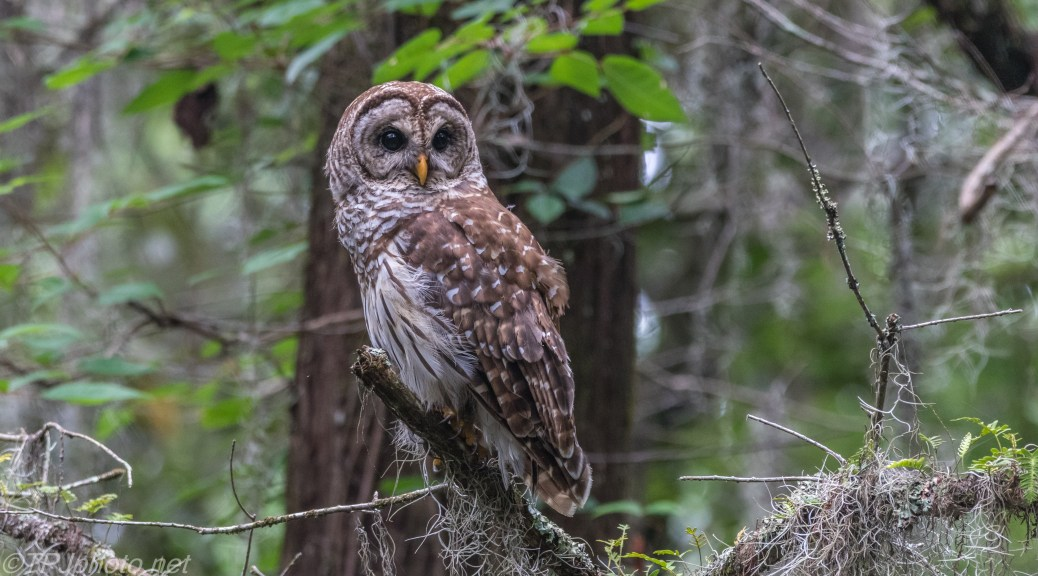 Owl In The Spanish Moss - Click To Enlarge