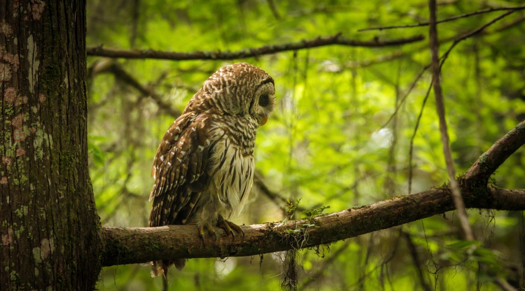 Barred Owl, Low Light - Click To Enlarge