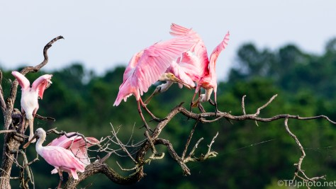 Too Many Spoonbills In One Spot - Click To Enlarge