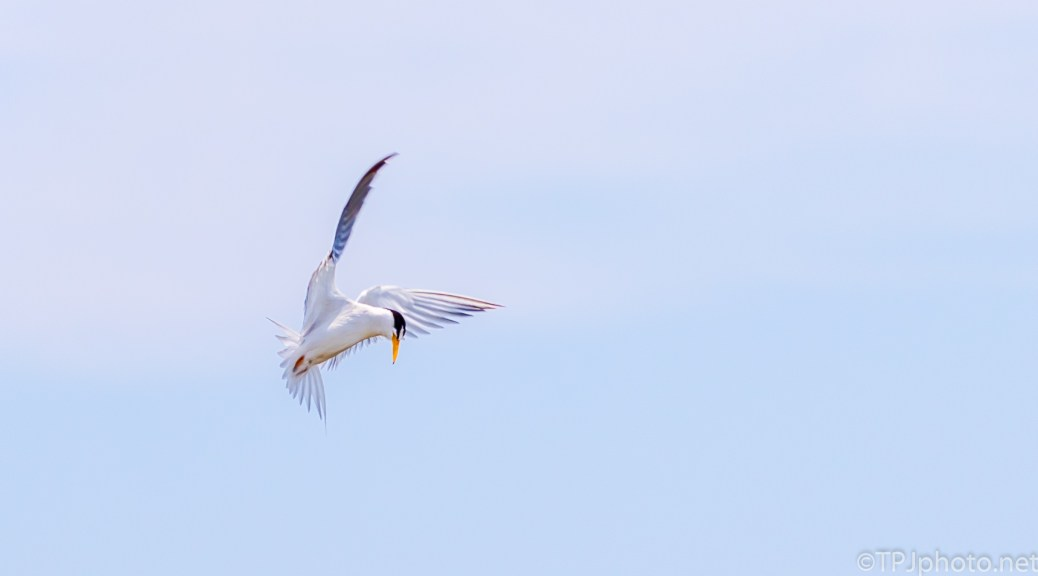 Least Tern - Click To Enlarge