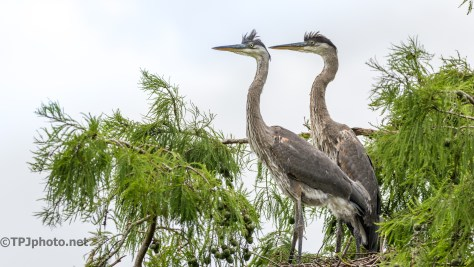 Tale Of Two Herons, Final Portrait - Click To Enlarge