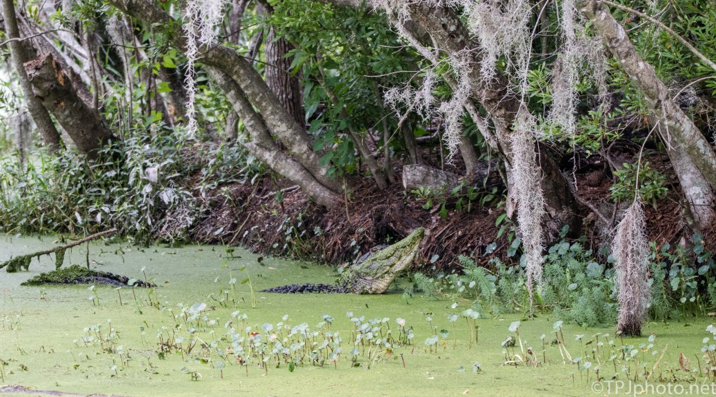 Bull Alligator, A Roar - Click To Enlarge