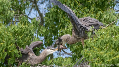 Two Herons, One Fish - Click To Enlarge