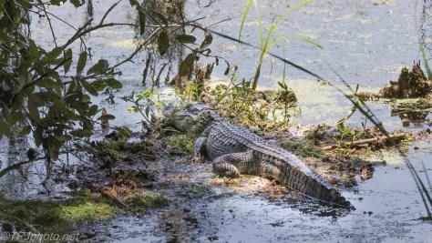 Keeping To Himself, Alligator - Click To Enlarge