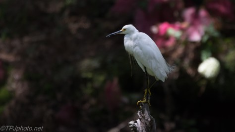 Snowy Egret Showing Off - Click To Enlarge