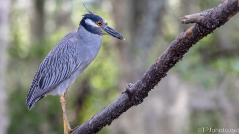 Yellow-crowned Night Heron - Click To Enlarge