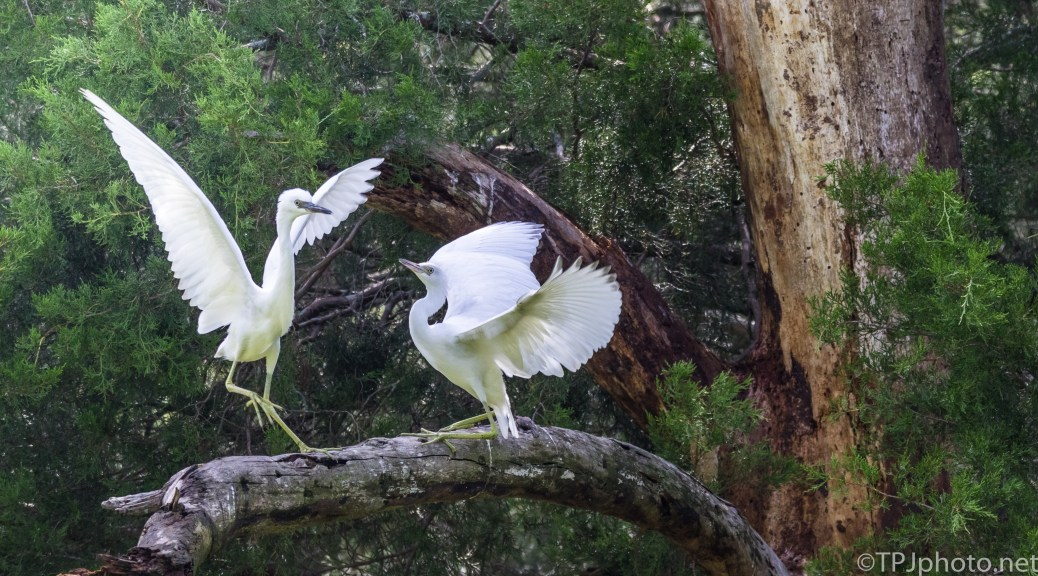 Little Blue Herons Do Not Get Along, Even Young Ones - Click To Enlarge