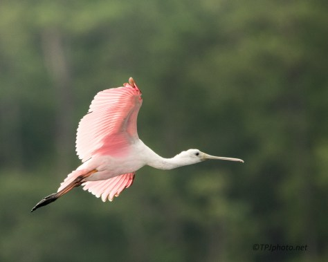 Roseate Spoonbill Joining A Group - Click To Enlarge