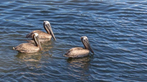 Brown Pelicans End Of Day - Click To Enlarge