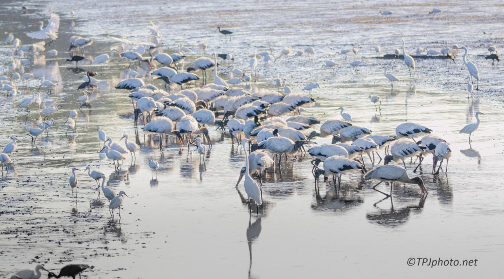 Two Looks At A Wood Stork Flock - Click To Enlarge