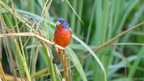 Painted Bunting - Click To Enlarge
