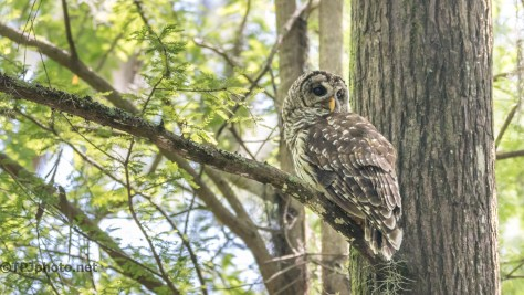 Barred Owl Visit - Click To Enlarge