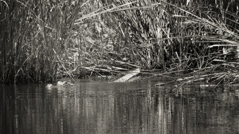 Slipping Into The Water, Alligator - Click To Enlarge