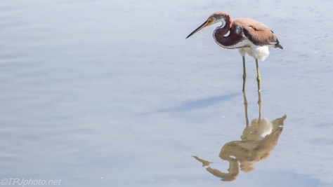 Tricolored Heron In An Oyster Bed - Click To Enlarge