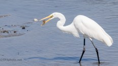 Catch And Release, Great Egret - Click To Enlarge