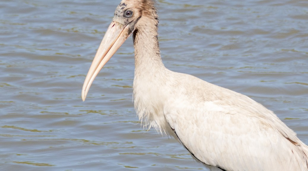 Young Wood Stork - Click To Enlarge