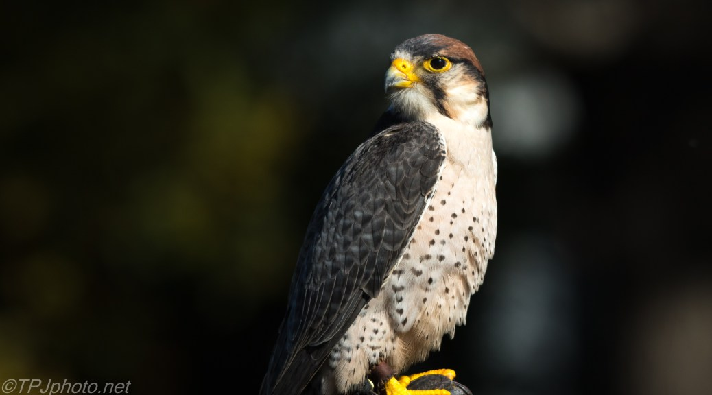 Lanner Falcon - Click To Enlarge