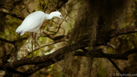 White Birds, Trees - Click To Enlarge