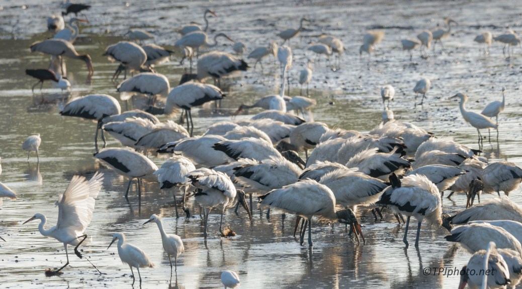 Gathering Of Storks And Egrets - Click To Enlarge