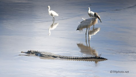 Uneasy Truce, Alligator, Egret, Stork - Click To Enlarge