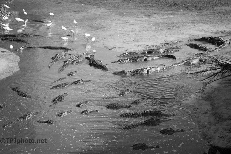 Gathering Of Alligators - Click To Enlarge