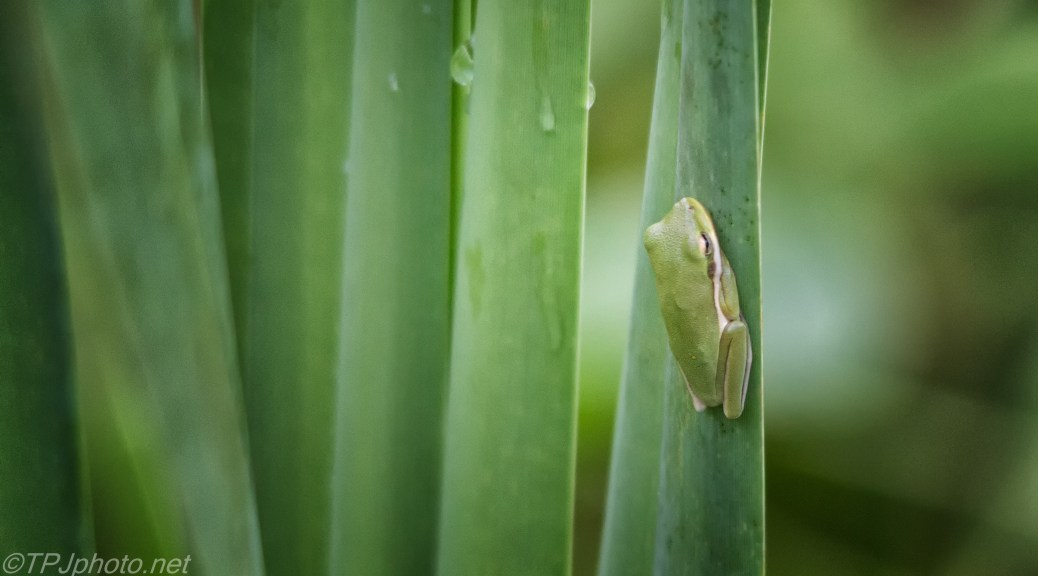 Local Citizen, Tree Frog - Click To Enlarge