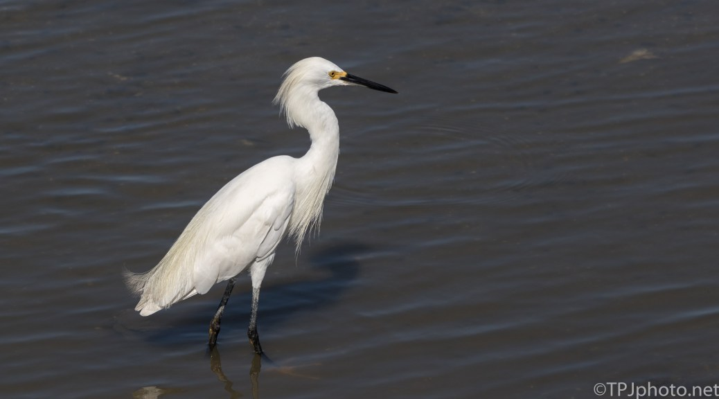 Acting All Puffy As Usual, Snowy Egret - Click To Enlarge