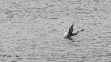 Controlled Crash, Pelican - Click To Enlarge