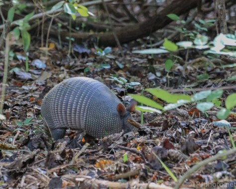 Armadillo, In The Brush - Click To Enlarge