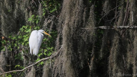Great Egret High In The Moss - Click To Enlarge