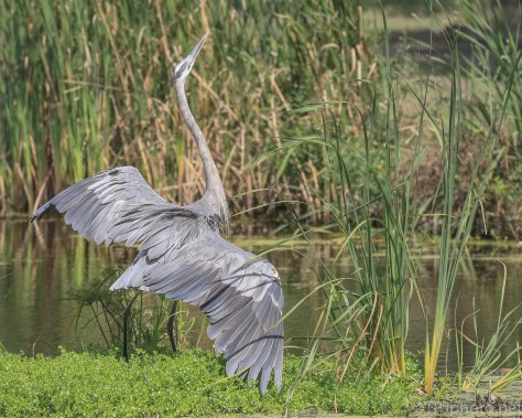 Aggressive Posturing, Great Blue Heron - Click To Enlarge