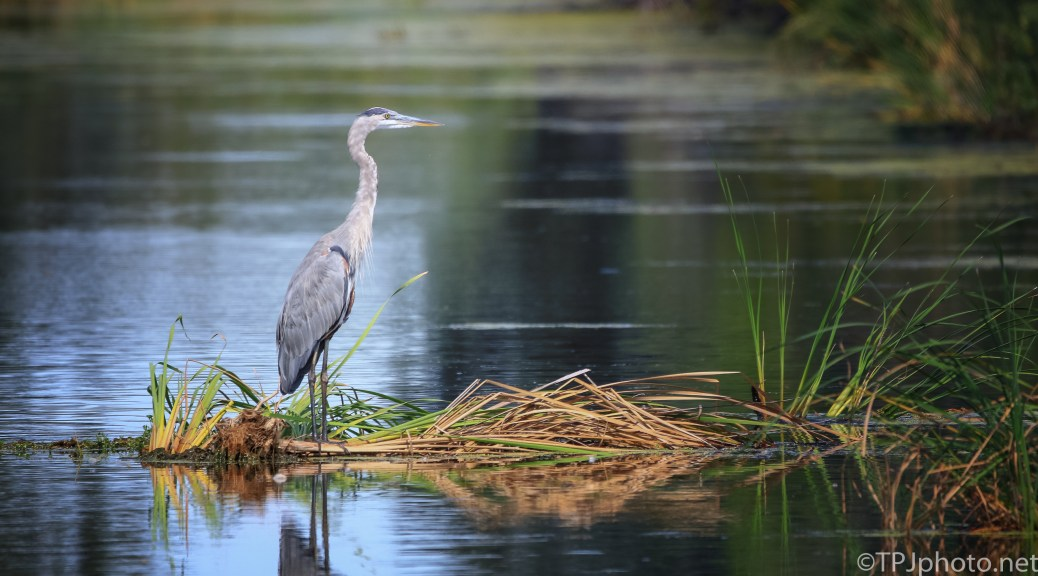 Great Blue Heron On The Reeds - Click To Enlarge