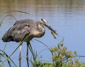 Shrimp For Lunch, Great Blue Heron - Click To Enlarge