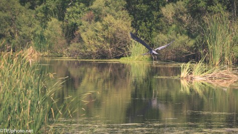 Great Blue Heron, Wide Angle -Click To Enlarge