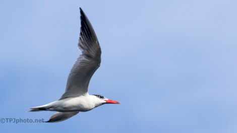 Full Throttle, Tern - Click To Enlarge