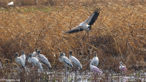 Wood Stork Joining The Group - Click To Enlarge