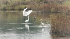 Great Egret Joining The Group - click to enlarge