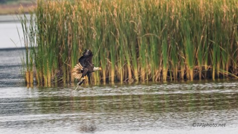 Bald Eagle Hunting In A Marsh - click to enlarge