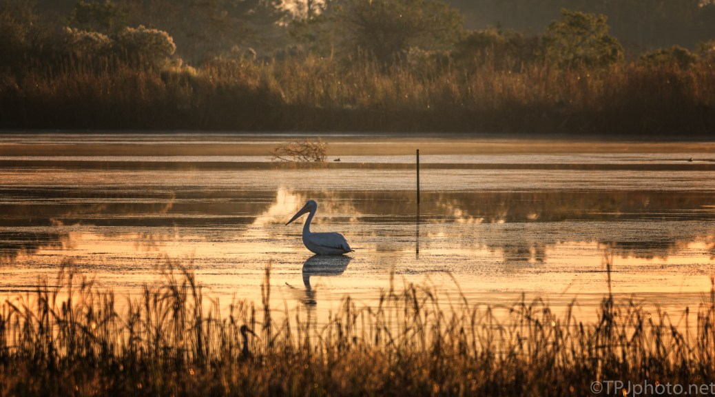 White Pelican At Sunrise - click to enlarge