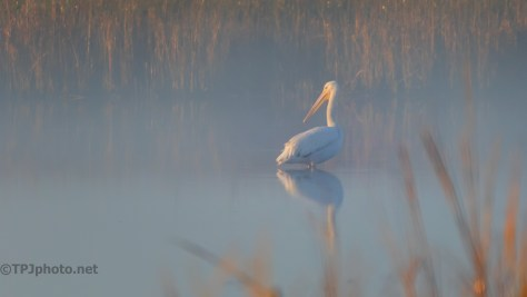 White Pelican In Fog - click to enlarge