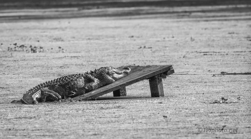Big Ole Alligator Relaxing -Click To Enlarge