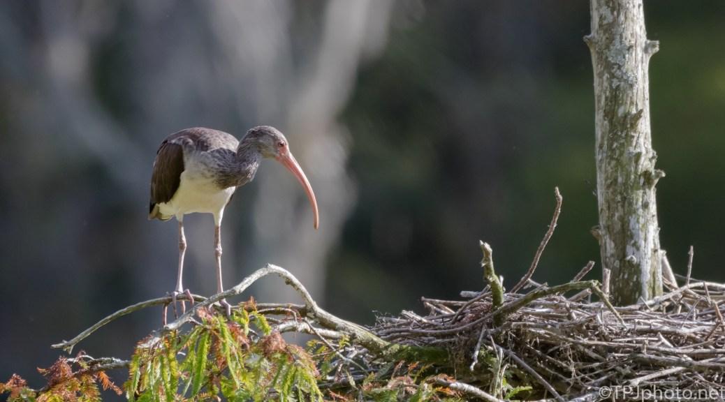 Juvenile Ibis - Click To Enlarge