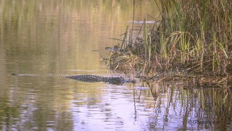Alligator Lurking - click to enlarge