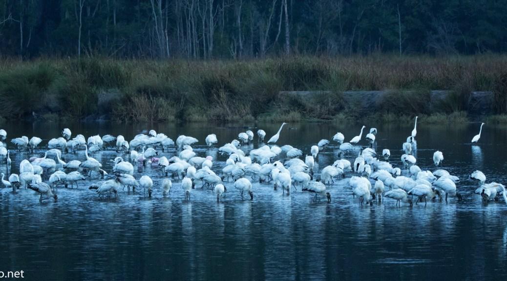 Morning Stork Gathering - click to enlarge