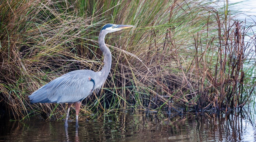 Great Blue Heron, Old Rice Field - click to enlarge