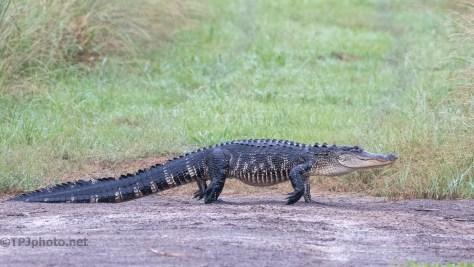 Pushing Through, Alligator - click to enlarge